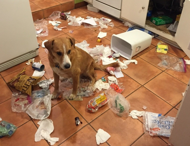 A dog destroying the kitchen